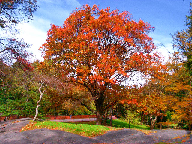 northern red oak tree in fall